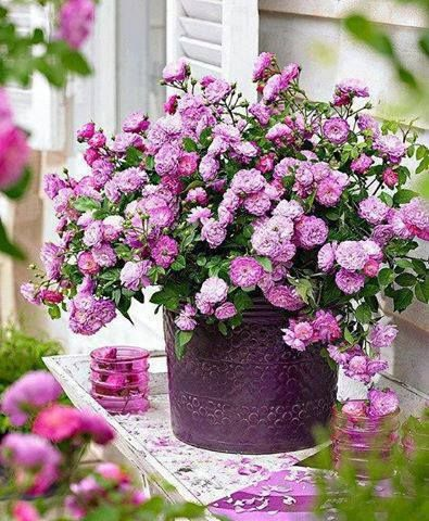 Garden Delight - pink abundance in container. How perfectly lovely. I can smell the gorgeous fragrance clear through my monitor ...