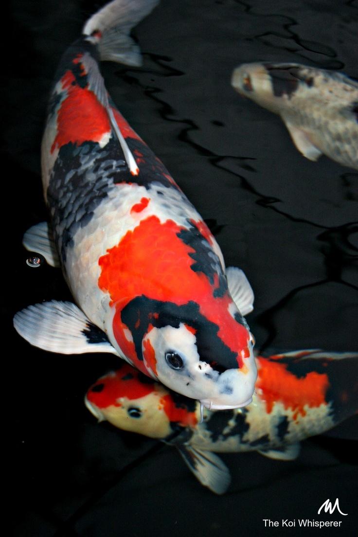 The 668 best Koi images on Pinterest | Koi carp, Japanese koi and Pisces
