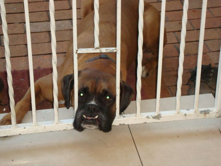 Tyson - my sweet boxer (RIP)