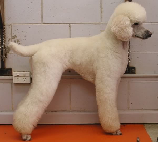 Paris the Poodle -- looks like my Sissy, but better groomed.