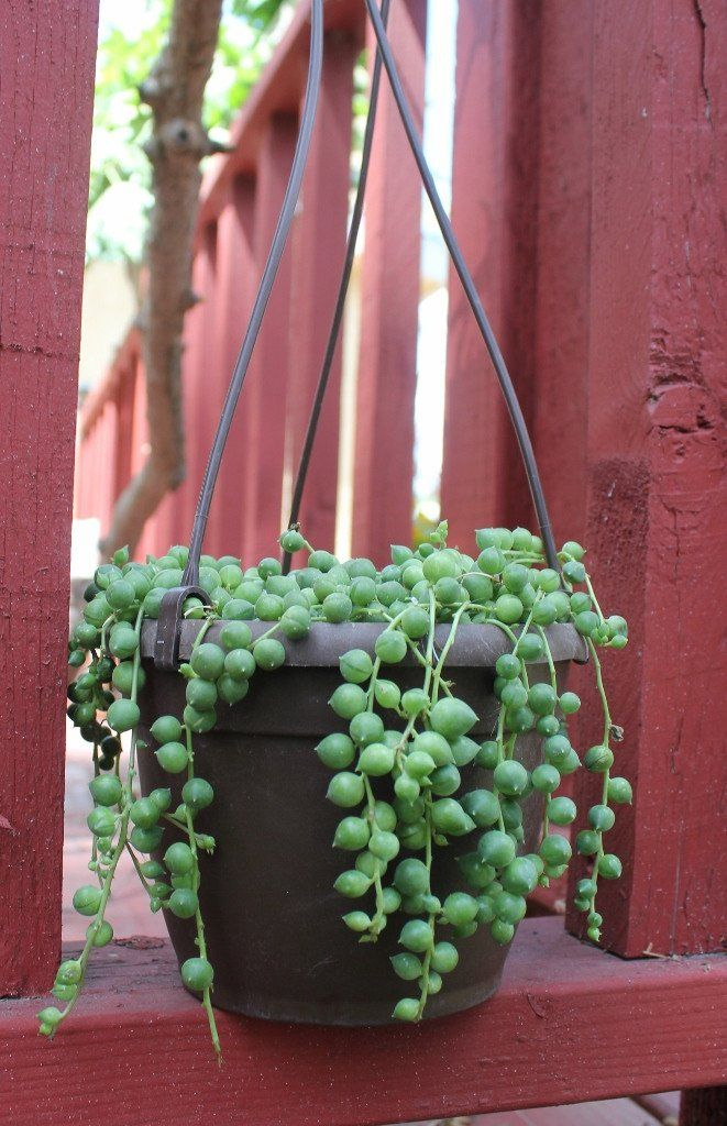 Hanging String of Pearls bulk wholesale succulent prices at the succulent source - 1