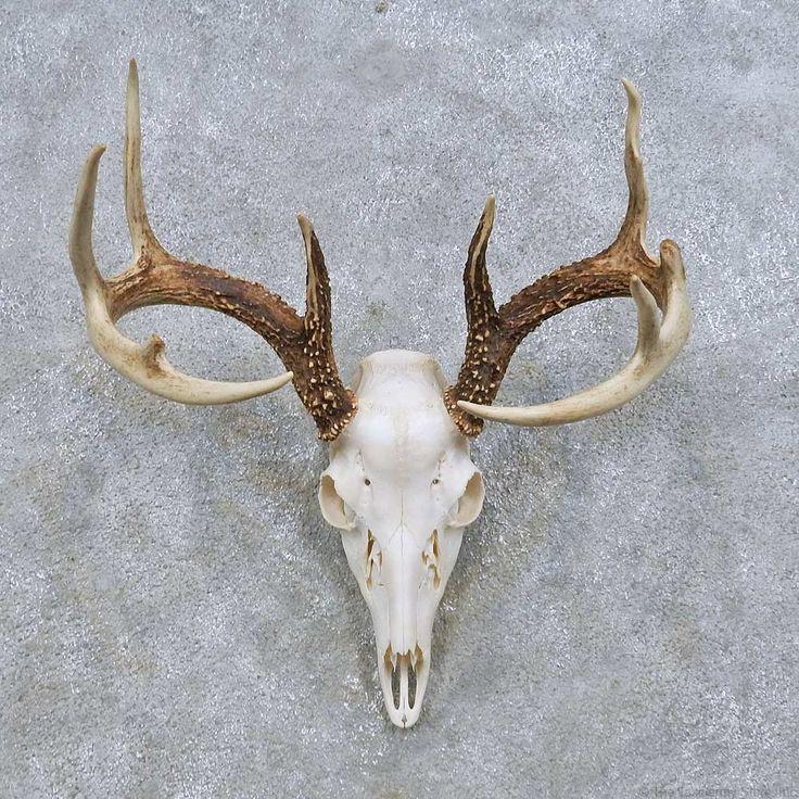 White Tail Deer Sckull Drawn: Whitetail Deer Skull European Mount For Sale #14648 @ The