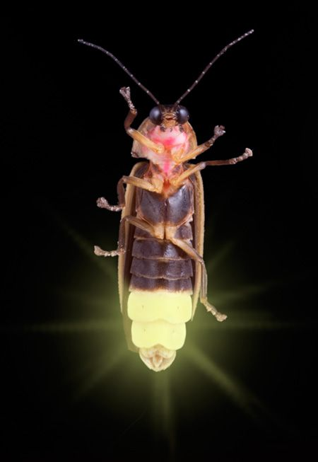 Fireflies have a specialized cavity in their stomachs that is used specifically for creating light. Night tour info for you.
