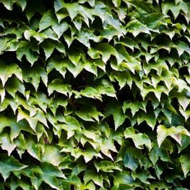Some houseplants, such as English ivy, can increase your home's humidity levels.
