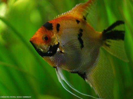 Peixes de água doce do Brasil - Acará-Bandeira (Pterophyllum scalare) - Artigos - Cursos CPT