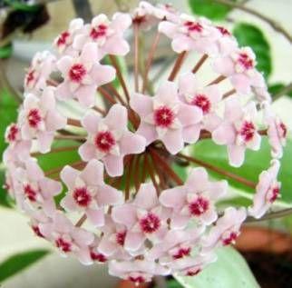 ✅ ✅ ✅ ✅ ✅ СМОТРИТЕ: Почему не цветет ХОЙЯ в домашних условиях? Что делать? Как заставить цвести ХОЙЮ восковой плющ? ОТВЕТЫ!