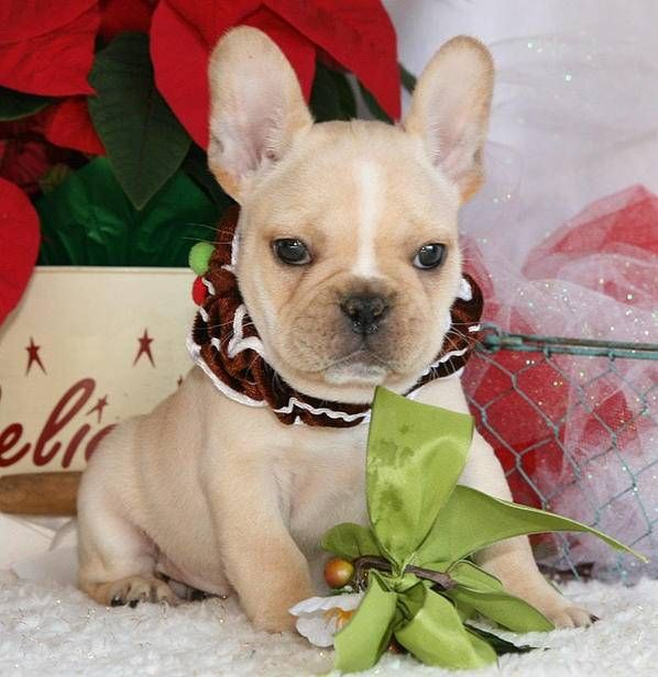 Litter Of 7 French Bulldog Puppies For Sale In Chandler Az Adn