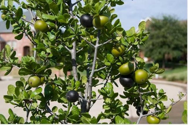 Texas Persimmon fruit tree (Diospyros texana)