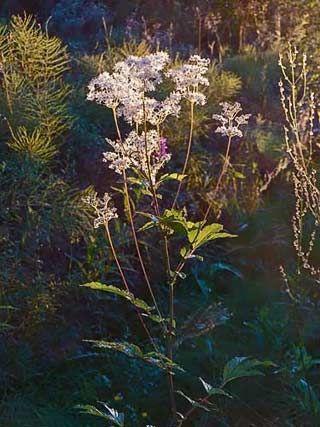 Filipendula ulmaria/meadowsweet/ÄLGGRÄS. May-sep sowing. Blooms jun-aug
