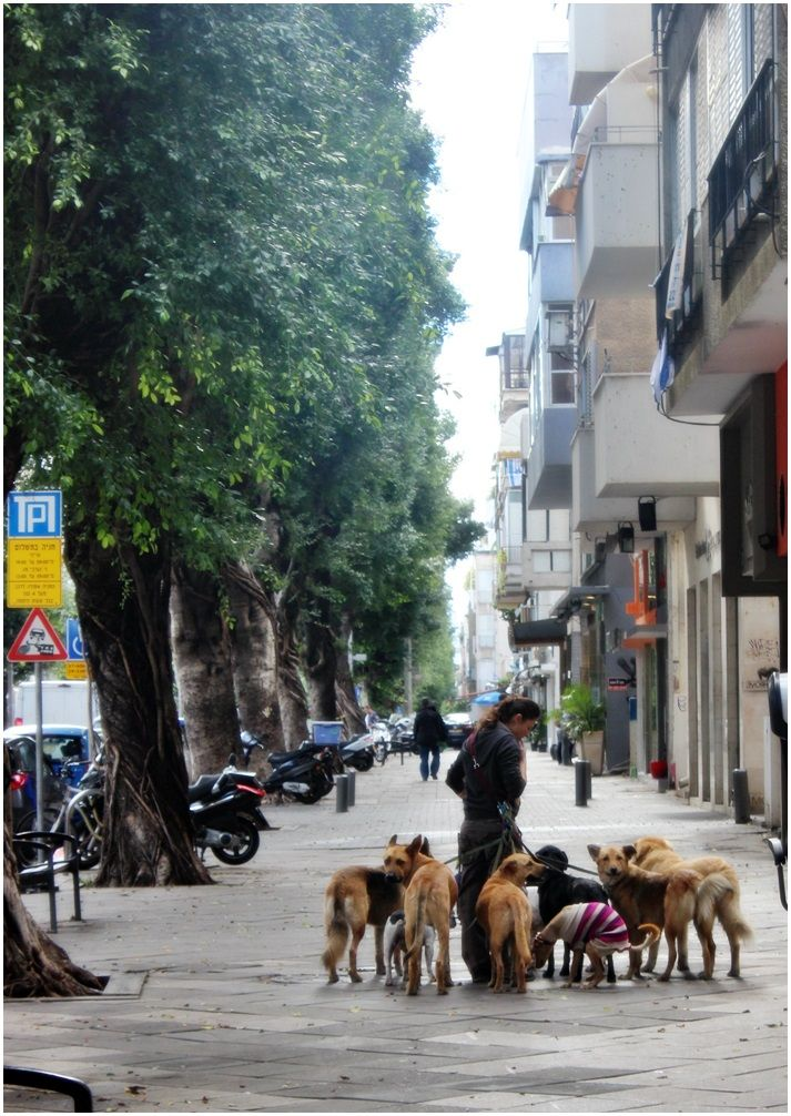 A dog sitter walking  with the dogs on Disengoff street