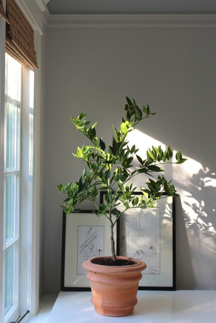 Here's to keeping your potted citrus happy indoors this winter...