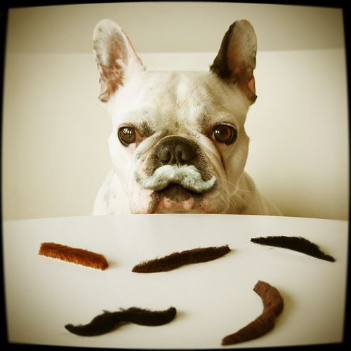 Mustaches Parties, Bulldogbabi Dogs, French Bulldogs, Frenchie Mustaches, Bulldogpet Boys, Bulldogs Pets Boys, Animales Mascotas, Baby Dogs, Bulldogs Lov