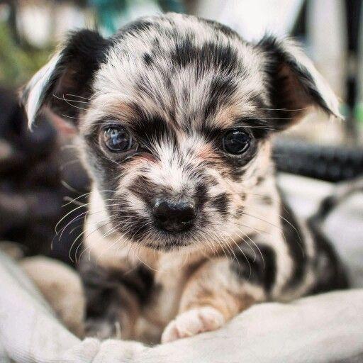 Blue Merle Dapple Longhaired Chihuahua Luna