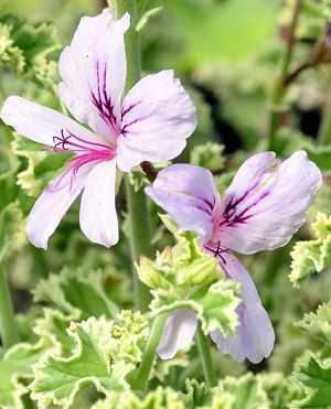 Lemon Scented Geranium: Pelargonium crispum variegata    These are great for their aromas, and have multiple uses in cooking.
