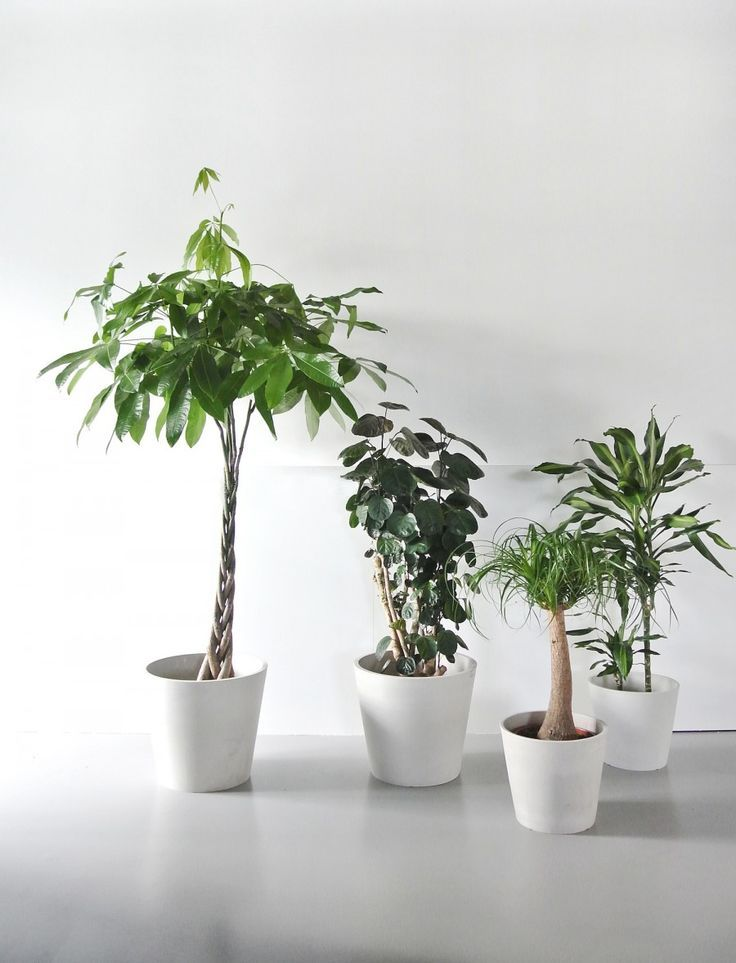 Attractive Real Indoor Trees Part - 10: Trees At Home