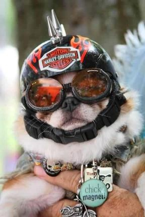 He is a chick magnet!: Dogs Fun, Dogs Crazy, Harley Davidson Dogs, Biker Pugs, Harley Dogs, Biker Dogs, Biker Chihuahua, Chick Magnets, Doggies Biker