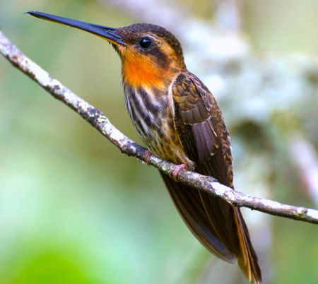 Saw-billed Hermit by Dario Sanches. (Rhamphodon naevius) The Saw-billed Hermit is a striking hummingbird, with a buff eyebrow, orange throat with dark stripe down the middle, and densely streaked breast. It is heavy for a hummingbird, weighing in at around ten grams. Its straight, hooked-tip bill has tiny serrations, which gives the bird its name.Southeastern Brazil, Genus Ramphodon, Hermit Ramphodon, Amazing Hummer, Hummingbirds Happy, Ramphodon Naevius, Ahhhh Hummingbirds, Saw Bil Hermit, Sawbil Hermit