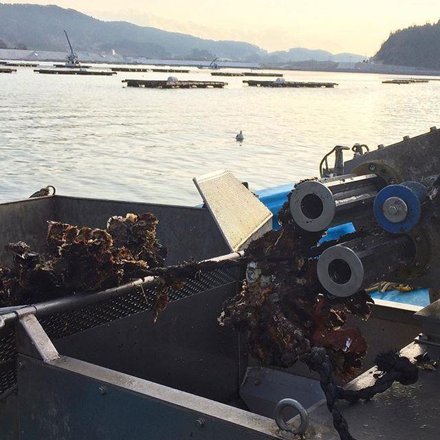 【nerihiko】さんのInstagramをピンしています。 《何個か牡蠣が集まった塊で揚がってくるので、少し分けながら洗浄される機械にかけて籠に入れる。水揚げってこんな感じ。 #マルテン水産 #広田湾 #陸前高田 #小友町 #両替漁港  #牡蠣  #牡蠣養殖 #養殖いかだ #海 #船 #oyster #Rikuzentakata #Hirotabay #instagood #sea #Maruten #水揚げ #株分け #牡蠣の塊 #軽くバラしながら洗浄されて出てくる #機械のおかげで速い #説明アバウト》