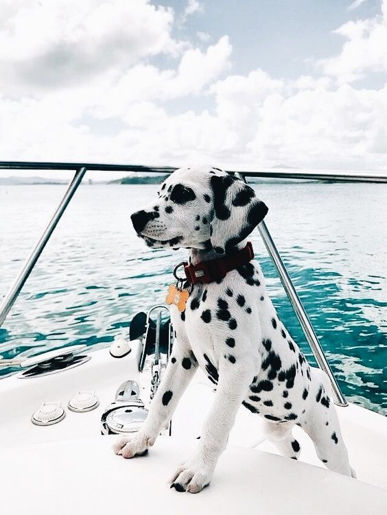 My dream puppy!! I've always wanted a Dalmatian to call my own!!! ❤❤❤