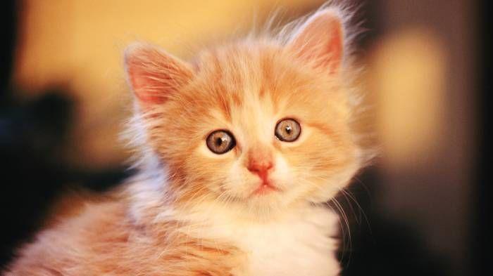 Широкоформатные обои Рыжий котёнок, Котёнок рыжего цвета