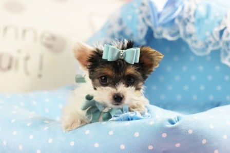 ♕♕♕TEACUP Biewer Yorkie Gilbert!♕♕♕ He Could Be Yours TODAY! Call 954-353-7864 and visit www.teacuppuppiesstore.com #biewer #bieweryorkie #yorkie #yorkshireterrier #teacup #micro #pocketbook #teacuppuppies #teacuppuppiesstore #tiny #teacupyorkie #teacupyorkshireterrier #small #little #florida #miami #fortlauderdale #bocaraton #westpalmbeach #southflorida #soflo #miamibeach #cute #adorable #puppy #puppyforsale #puppiesforsale #puppylove #love #dog