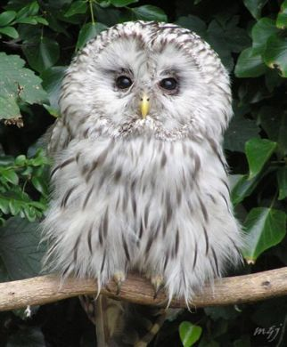 Hello Mr. Ural Owl by YorkshireNed: Urals are aggressive and will attack you if you come near their nest. #Owl