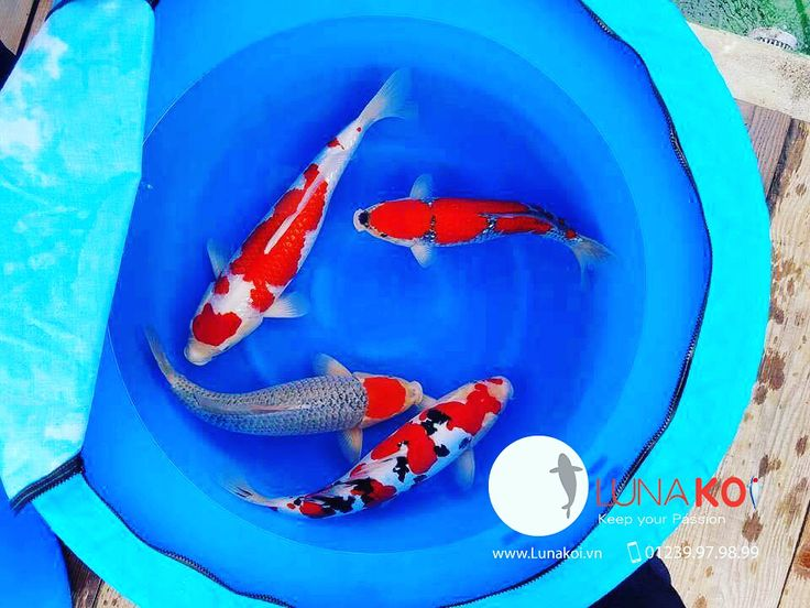Harvest Season Nisai of Nigata Koi Farm !! www.lunakoi.vn  #koi #koifish #koipond #fish #carp #outdoors #garden #pet #animals