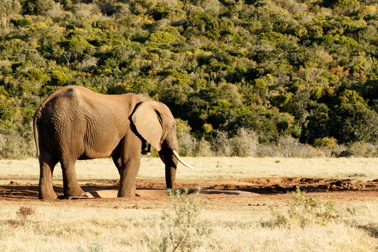 They Taged Me - African Bush Elephant They Taged Me - The African bush elephant is the larger of the two species of African elephant. Both it and the African forest elephant have in the past been classified as a single species.