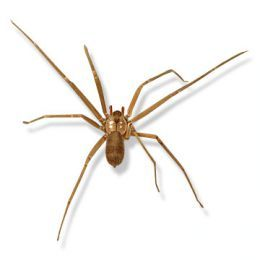 How to Identify Venomous House Spiders--yep scared the crap out of me but was a male house spider.....