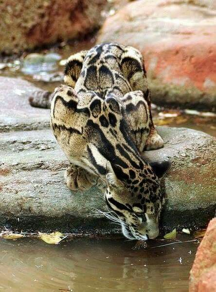 Beautiful Clouded Leopard