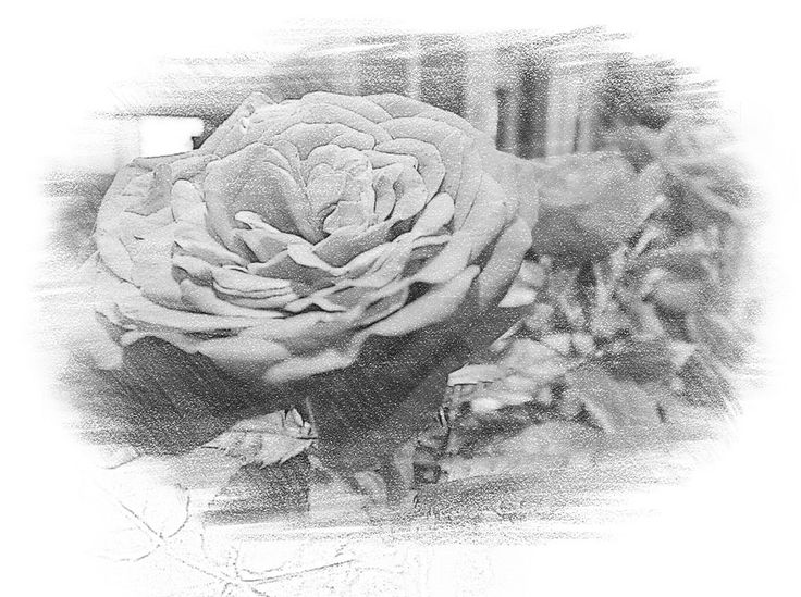 "https://flic.kr/p/SwhpED | Photo Series: Flower Portraits: ""A rose in photo-sketch"" 