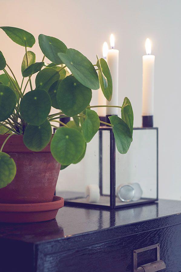 Pannenkoekplant, het hele jaar door verkrijgbaar, vraag er naar in de winkel.