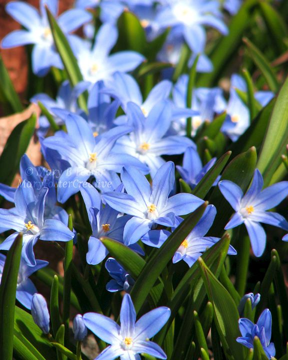 This mass of tiny star-shaped, bright blue Chionodoxa 'Glory of the Snow' flowers is always a welcome sight when I photograph them in my garden after a Minnesota winter. Use this image for a cheerful botanical accent in any room.Title: Glory of th...