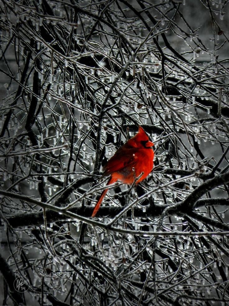 Cardinal in an Ice Storm - by Lance Vaughn