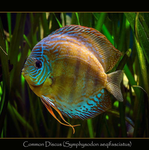 474 fantastiche immagini su acquari su pinterest ciclidi for Pesce discus
