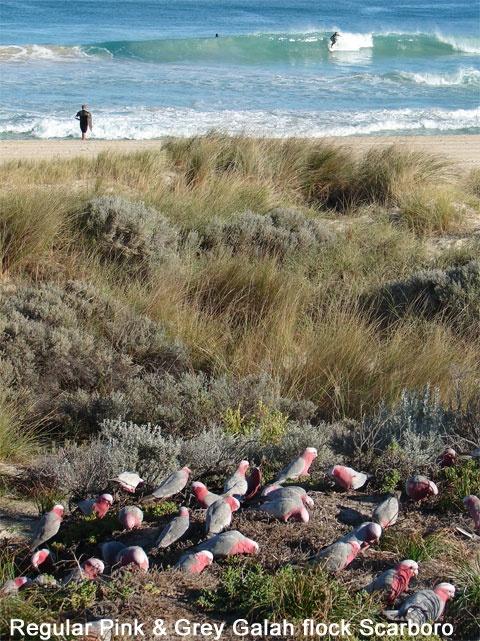 Scarborough Beach - Perth - Western Australia........beautiful beach - galahs! pink and gray!
