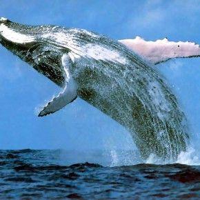 La caccia alle balene è illegale. Lo ha stabilito definitivamente, senza più possibilità d'appello, la Corte internazionale di Giustizia dell'Aja, che non ha riconosciuto i fini scientifici della pratica e ne ha disposto la sospensione.