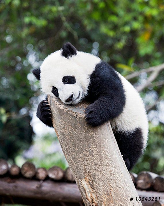 Lovely Young Panda – kids room decor, Pet and amimal photography – Tiere
