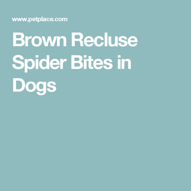 Brown Recluse Spider Bites in Dogs