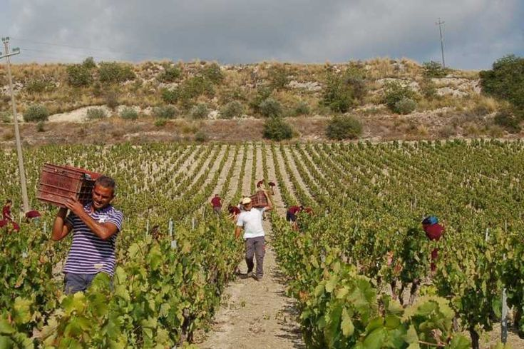 Discover the ancient Etna harvest with Take it Slowly by Un`Altra Sicilia! Enjoy the video!   #sicily   #ecotour   #ecotourism   #wines   #winetasting   #holidays   #etna