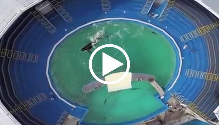 video - Lolita's going blind from swimming in this tiny tank for 46 years  https://www.thedodo.com/lolita-blind-video-1984871450.html