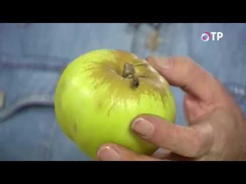Как правильно выбрать сорта яблонь для сада? Удачные советы. Видео - Ботаничка.ru