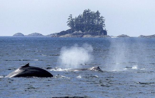 Observation de baleine dans la Baie-Sainte-Catherine