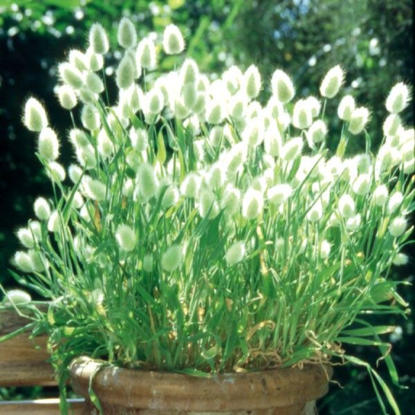 Hasenschwanzgras 'Bunny Tails'