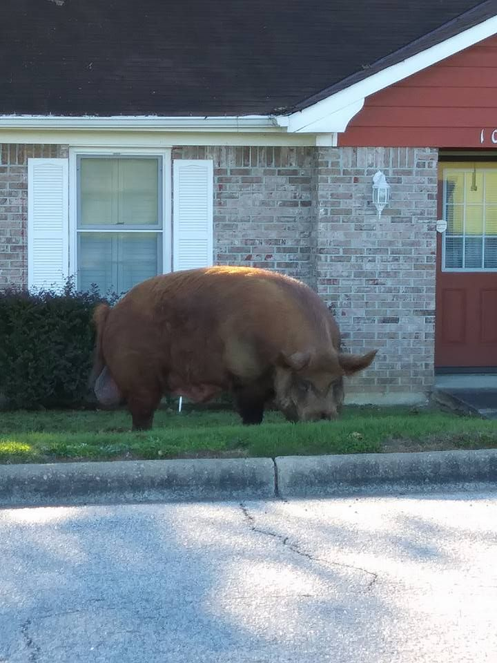 PHENIX CITY, AL (WTVM) – It's not every day you see a huge hog roaming the streets, however, a woman captured pictures of one walking around a Phenix City neighborhood.