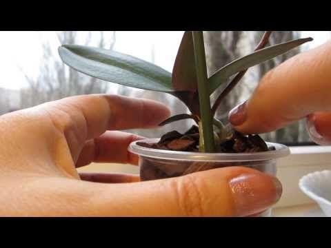 Отделение и посадка детки орхидеи Phalaenopsis Mini   21.11.2013 - YouTube