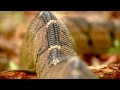 The King Cobra HD | Discovery Channel Documentary videos - Best Tube Video,1080p HDTV High-Definition Video