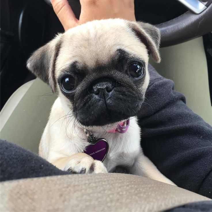 How much do you love pugs on a scale 1 to 10?❤️  #pugdaily #pugs #pug #cute #puglover