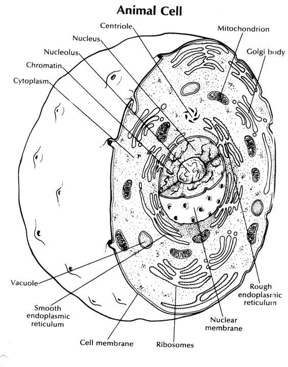 Eukaryotic Cell Model Page Coloring Pages Sketch Coloring Page