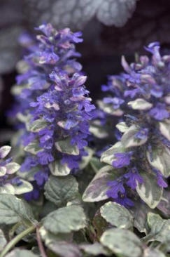 """Ajuga or Bugleweed is a fast-growing, evergreen ground cover that usually creeps within just a few inches of the ground (the species name, reptans, means """"creeping""""), although when in flower (if you count the flower spike), it may reach a height of 6"""" or more. Ajuga blooms from spring to mid-summer. Flower color varies but is often blue to purple. Grows in sun to part shade in zones 3-9."""